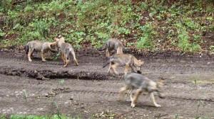 Farkasok a bükkben vadkamerán
