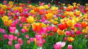 tulipános mező