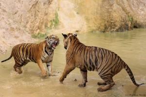 tigrisharc